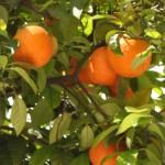 Bioflavonoider finns tex i citrusfruker så som Apelsiner