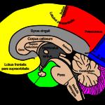 Hjärnan - Fosfatidylserin är en komponent av hjärncellmembranen