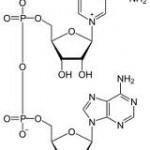 NADH - Coenzym 1