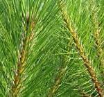 Pyknogenol (Pycnogenol) utvinns från Pinus, maritima
