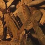 Lakritsrot (Glycyrrhiza glabra)