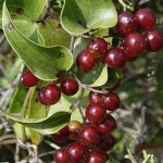 Sarsaparilla  (Smilax officinalis)