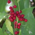 Chisandra (Schizandra, schisandra chinensis) - Adoptogen