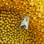 Royal jelly, Bidrottninggelé
