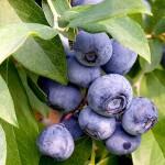 Blåbär - Fullspäckat med näring