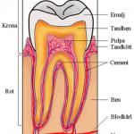 Mun och tandhälsa - Bild på tandens uppbyggnad.