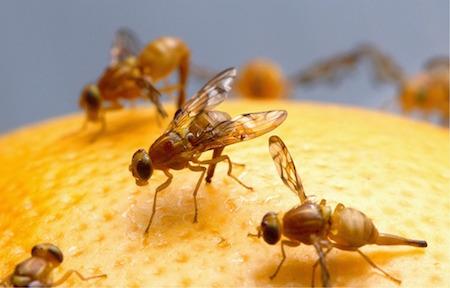 Bli av med frukflugor, bananflugor