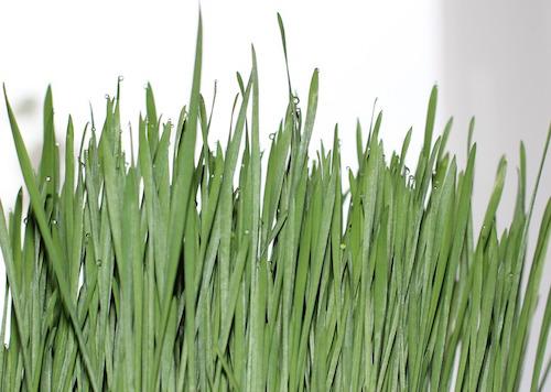 Odla vetegräs själv - hur gör man